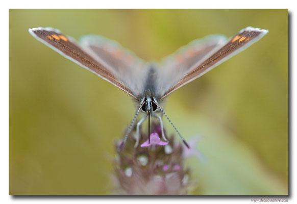 Azuré commun femelle - Polyommatus icarus (11)