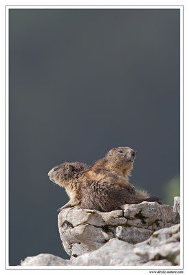 Photo Marmotte_13