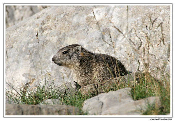 Photo Marmotte_M12