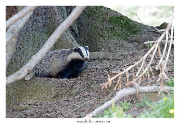 Photo_Blaireau_59 (Blaireaux - Meles meles - Eurasian Badger)