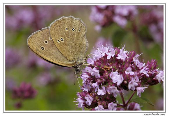Tristan - Aphantopus hyperantus (1)