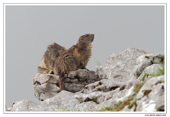 Photo Marmotte_12