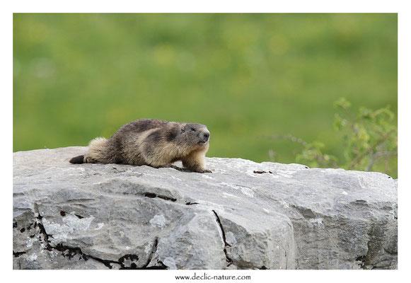 Photo Marmotte_41
