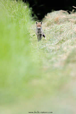 Photo Renard_201 (Renard roux -Vulpes vulpes - Red Fox)