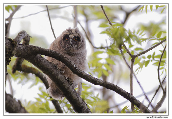 Photo 18 (Hibou moyen-duc - Asio otus - Long-eared Owl)