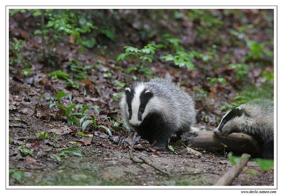Photo_Blaireau_25 (Blaireaux - Meles meles - Eurasian Badger)