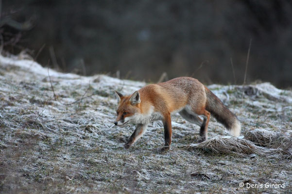 Photo Renard_4 (Renard roux -Vulpes vulpes - Red Fox)