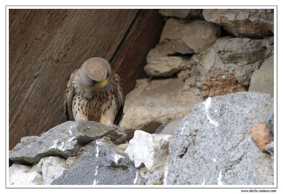 Photo 23 (Faucon crécerelle - Falco tinnunculus - Common Kestrel)