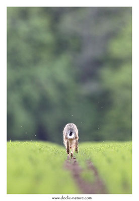 Lièvres - Lepus europaeus - Brown Hare (35)