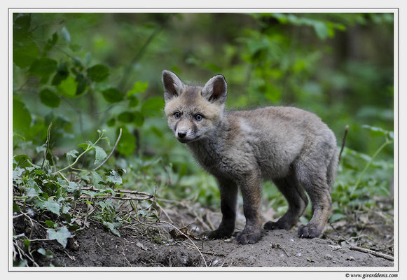 Photo Renard_14 (Renard roux -Vulpes vulpes - Red Fox)