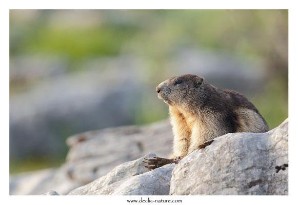 Photo Marmotte_56