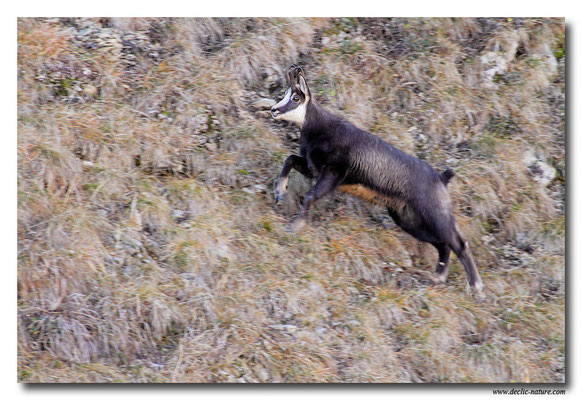 Photo Chamois_8 (Chamois - Rupicapra rupicapra )