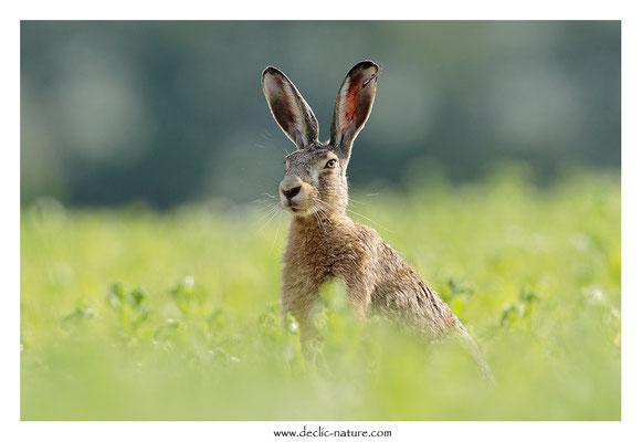 Lièvres - Lepus europaeus - Brown Hare (39)