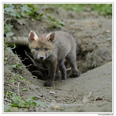 Photo Renard_16 (Renard roux -Vulpes vulpes - Red Fox)