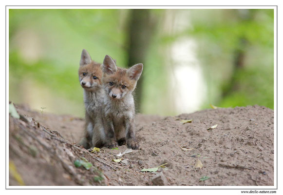 Photo Renard_94 (Renard roux -Vulpes vulpes - Red Fox)