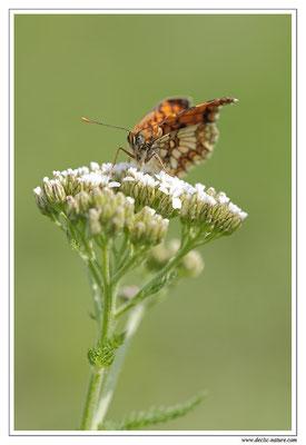 Mélitée des mélampyres - Mellicta athalia (9)