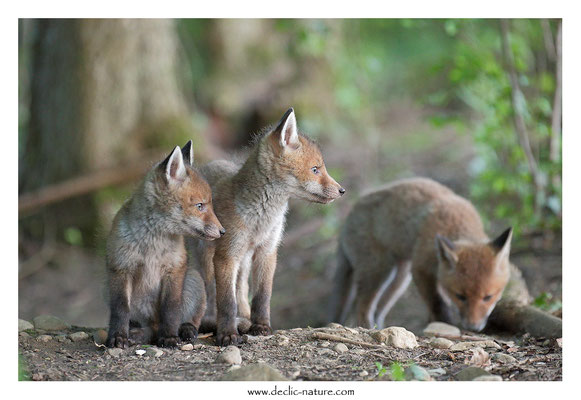 Photo Renard_118 (Renard roux -Vulpes vulpes - Red Fox)