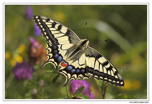 Machaon - Papilio machaon (9)