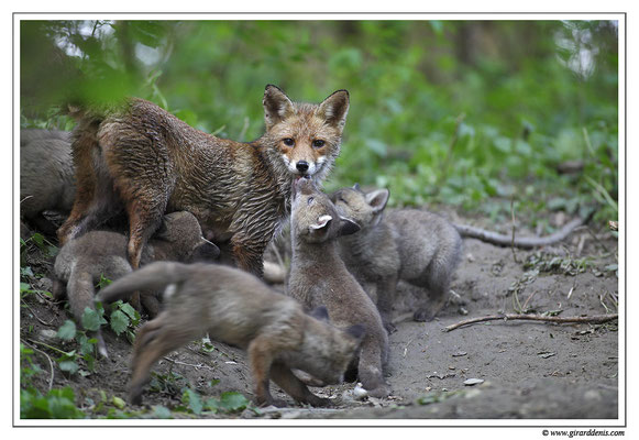 Photo Renard_19 (Renard roux -Vulpes vulpes - Red Fox)