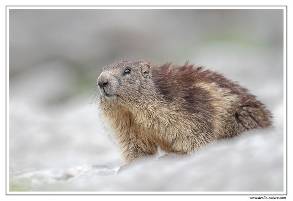 Photo Marmotte_14