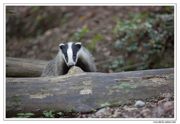 Photo_Blaireau_31 (Blaireaux - Meles meles - Eurasian Badger)