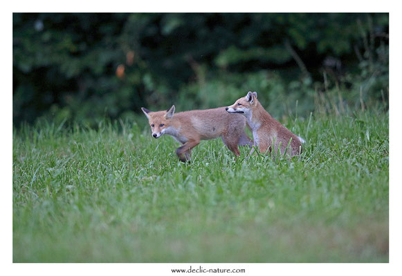 Photo Renard_148 (Renard roux -Vulpes vulpes - Red Fox)