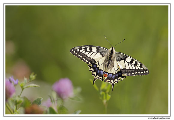 Machaon - Papilio machaon (4)