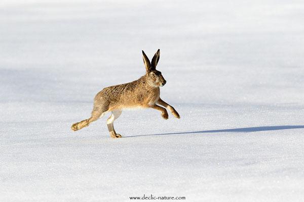 Lièvres - Lepus europaeus - Brown Hare (22)