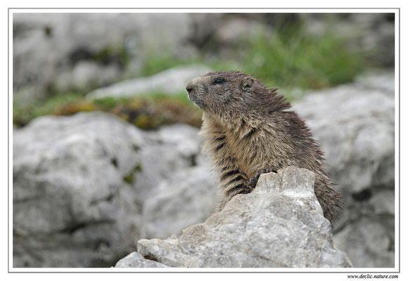 Photo Marmotte_22