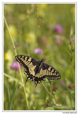 Machaon - Papilio machaon (1)