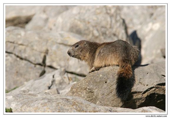 Photo Marmotte_M33
