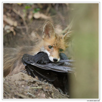 Photo Renard_86 (Renard roux -Vulpes vulpes - Red Fox)
