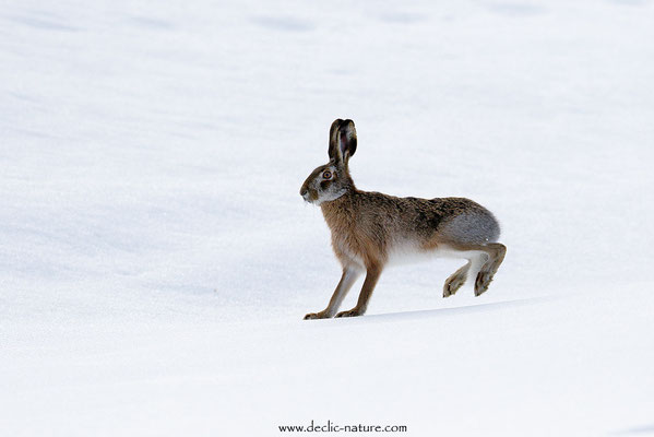 Lièvres - Lepus europaeus - Brown Hare (15)