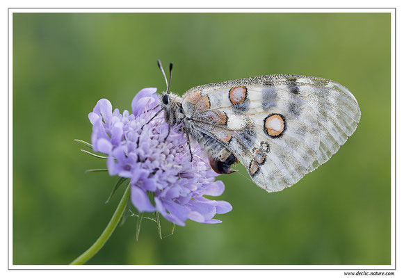 Apollon - Parnassius apollo (22)
