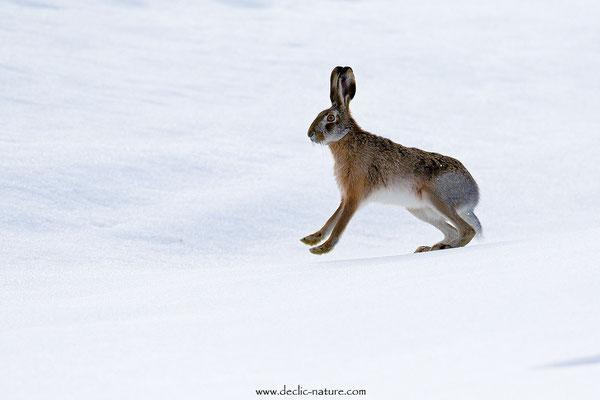 Lièvres - Lepus europaeus - Brown Hare (16)