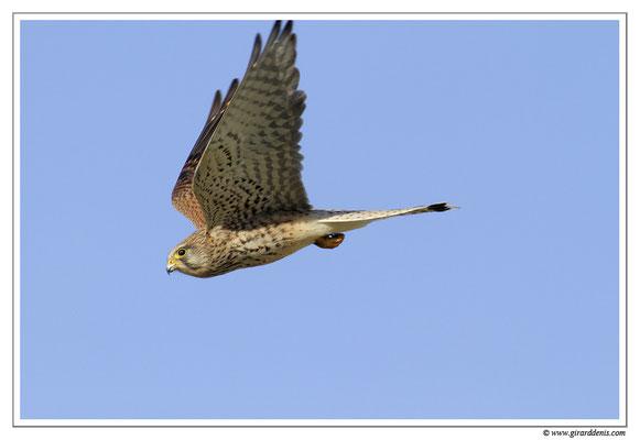 Photo 14 (Faucon crécerelle - Falco tinnunculus - Common Kestrel)
