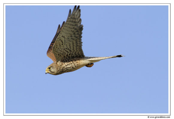 Photo 14 (Faucon crécerelle - Falco tinnunculus - Common Kestrel)