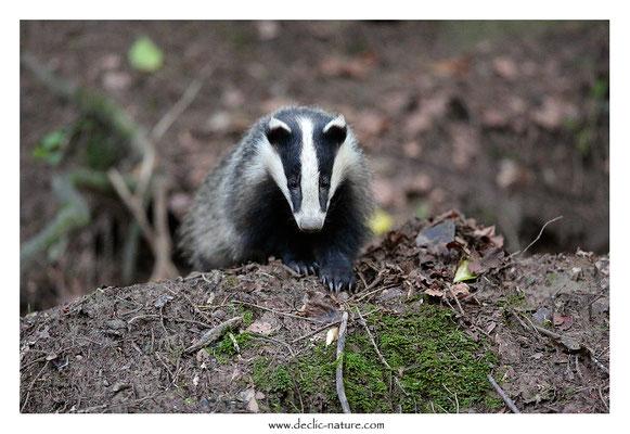 Photo_Blaireau_71 (Blaireaux - Meles meles - Eurasian Badger)