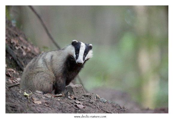 Photo_Blaireau_50 (Blaireaux - Meles meles - Eurasian Badger)