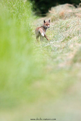 Photo Renard_197 (Renard roux -Vulpes vulpes - Red Fox)