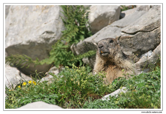 Photo Marmotte_M7