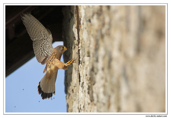 Photo 33 (Faucon crécerelle - Falco tinnunculus - Common Kestrel)