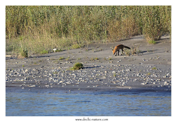 Photo Renard_161 (Renard roux -Vulpes vulpes - Red Fox)