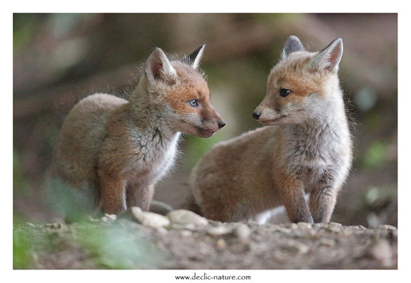 Photo Renard_119 (Renard roux -Vulpes vulpes - Red Fox)