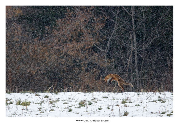 Photo Renard_164 (Renard roux -Vulpes vulpes - Red Fox)