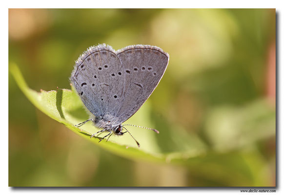 Azuré de la faucille - Everes alcetas (3)