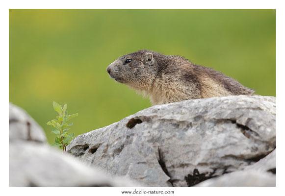 Photo Marmotte_48