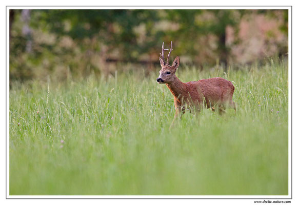 Photo Chevreuil_91 (Chevreuil - Capreolus capreolus - Roe Deer)