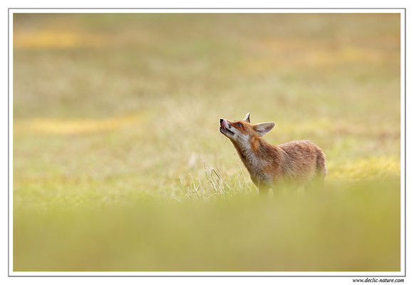 Photo Renard_102 (Renard roux -Vulpes vulpes - Red Fox)