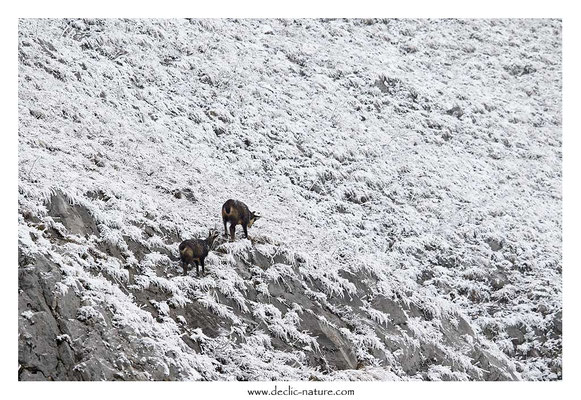 Photo Chamois_27 (Chamois - Rupicapra rupicapra )